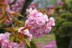 Flor de cerezo rosada Foto de archivo libre de regalías