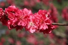Flor de cerezo rosada Imagen de archivo