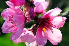 Flor de cerezo rosada Fotografía de archivo