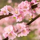 Flor de cerezo rosada Foto de archivo