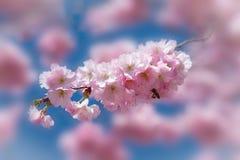 Flor de cerezo rosada con la abeja en fliegt Foto de archivo libre de regalías