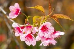 Flor de cerezo rosada de Sakura Fotos de archivo