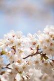 Flor de cerezo Sakura Fotografía de archivo libre de regalías