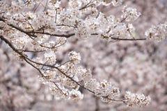 Flor de cerezo Sakura Foto de archivo