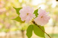 flor de cerezo. Sakura Foto de archivo