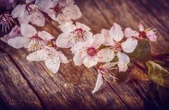 Flor de cerezo Sakura en el vintage de madera rústico de la tabla retro Fotografía de archivo libre de regalías