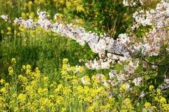 Flor de cerezo (Sakura) en jardín Foto de archivo libre de regalías