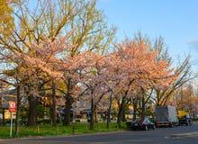 Flor de cerezo Sakura en Kyoto, Japón fotos de archivo