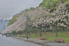 Flor de cerezo, flor de Sakura en Marunouchi Japón Fotografía de archivo