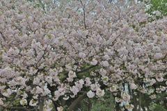 Flor de cerezo, flor de Sakura en Marunouchi Japón Foto de archivo libre de regalías
