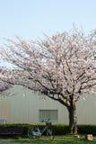 Flor de cerezo (Sakura) y un banco, bici en un parque Fotografía de archivo libre de regalías