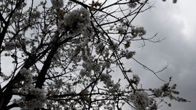 Flor de cerezo salvaje antes de la lluvia Foto de archivo libre de regalías
