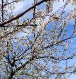 Flor de cerezo - serrulata del Prunus imágenes de archivo libres de regalías