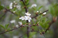 Flor de cerezo siberiana soplada Fotografía de archivo
