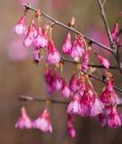 Flor de cerezo y abeja Imágenes de archivo libres de regalías
