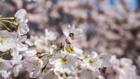 Flor de cerezo y abeja el tiempo de primavera Fotos de archivo libres de regalías