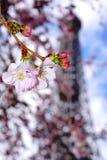 Flor de cerezo y la torre Eiffel fotografía de archivo libre de regalías