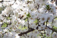 Flor de cerezo y una abeja Fotografía de archivo libre de regalías