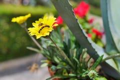 Flor de cernido de la abeja Fotografía de archivo libre de regalías