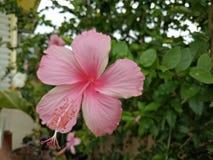 Flor de Chaba Imagenes de archivo