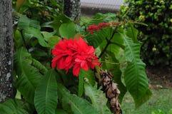 Flor de Chaconia Fotos de archivo