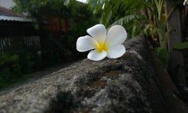 Flor de Champa Imagenes de archivo