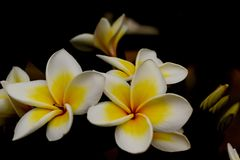 Flor de Champa con el fondo de la falta de definición imagen de archivo