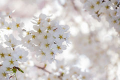 Flor de Cheerry en D C Fotos de archivo libres de regalías
