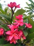 Flor de Chembakam Fotos de archivo libres de regalías