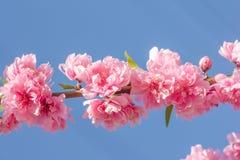 Flor de Cherry Blossom o de Sakura Fotografía de archivo