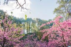 Flor de Cherry Blossom ou de Sakura Imagens de Stock Royalty Free