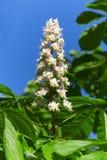 Flor de Chesnut Imagenes de archivo