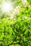 Flor de Chesnut con el sol Fotografía de archivo libre de regalías