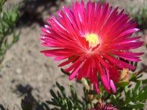 Flor de Chile Fotografía de archivo