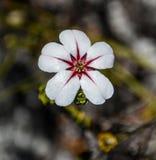 Flor de China Fotografía de archivo