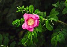 Flor de China Rosa imagem de stock royalty free