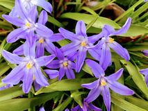 Flor de Chionodoxa fotografia de stock royalty free