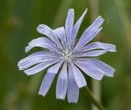 Flor de Chocory Fotografía de archivo libre de regalías