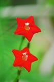 Flor de cinco estrelas Foto de Stock Royalty Free