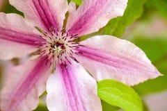 Flor de Clemtis Foto de archivo