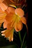 Flor de Clivia fotos de stock