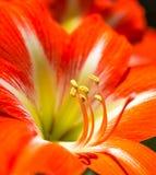 Flor de Clivia Fotografia de Stock Royalty Free