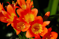 Flor de Clivia Miniata Imagenes de archivo