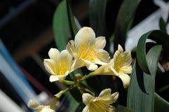 Flor de Clivia Miniata Fotos de archivo