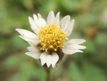 Flor de Coatbuttons foto de stock royalty free