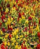 Flor de Cockscomb Fotos de archivo