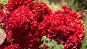 Flor de Cockscomb fotos de stock