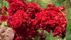 Flor de Cockscomb Fotografia de Stock Royalty Free