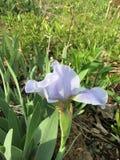 Flor de color de malva Foto de archivo libre de regalías