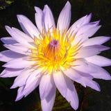 Flor de color de malva del lirio de agua Fotos de archivo libres de regalías